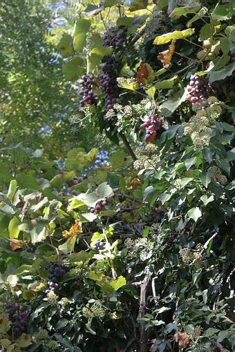 Виноград на стенах