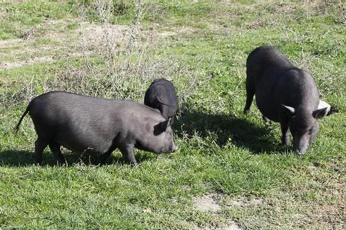 Чёрные свинки